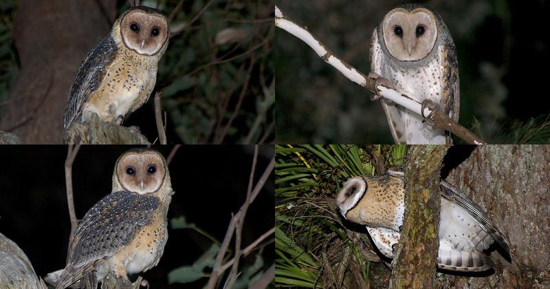 Australian Masked Owl Tyto Novaehollandiae Information