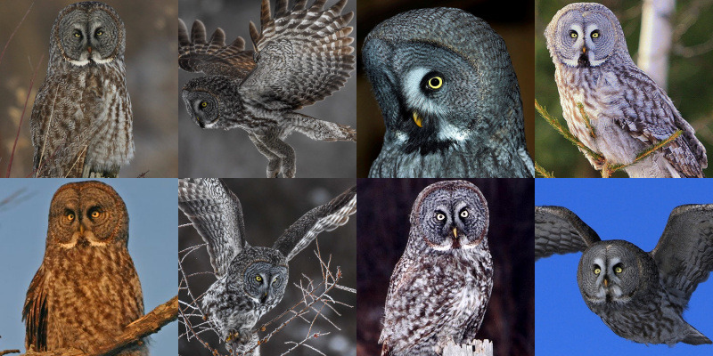 Great Grey Owl (Strix nebulosa) - Information, Pictures ...
