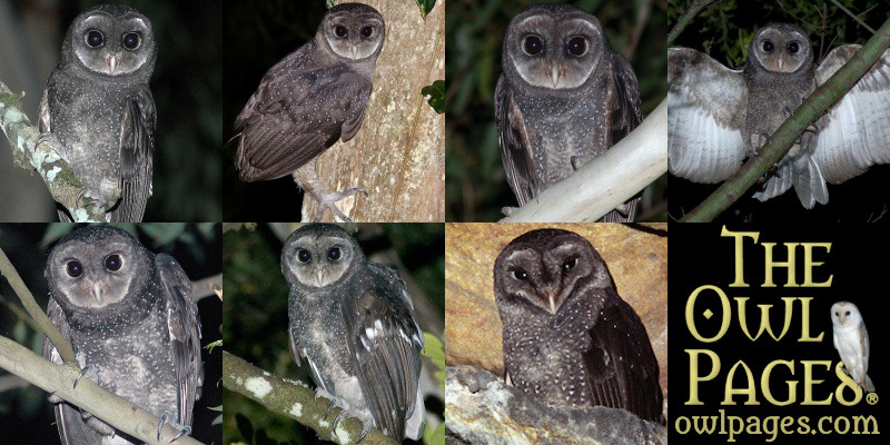 Greater Sooty Owl Tyto Tenebricosa Information