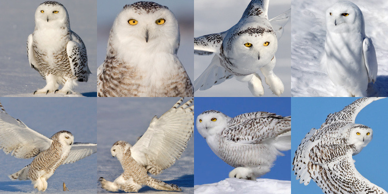 Parts Of The Ear >> Snowy Owl (Bubo scandiacus) - Information, Pictures, Sounds - The Owl Pages