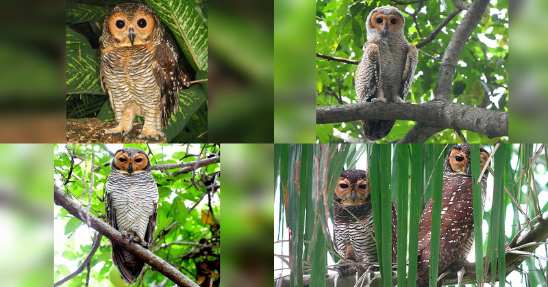 Spotted Wood Owl Strix Seloputo Information Pictures Sounds The Owl Pages