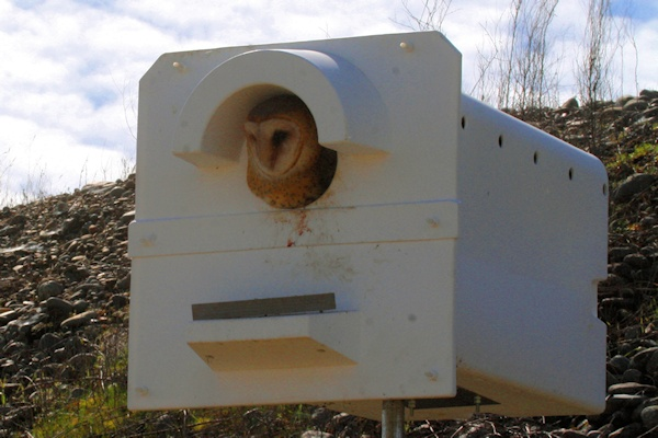 Adult Barn Owl at nest Box