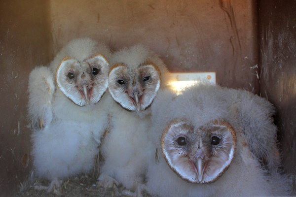 Young Barn Owls in nest box