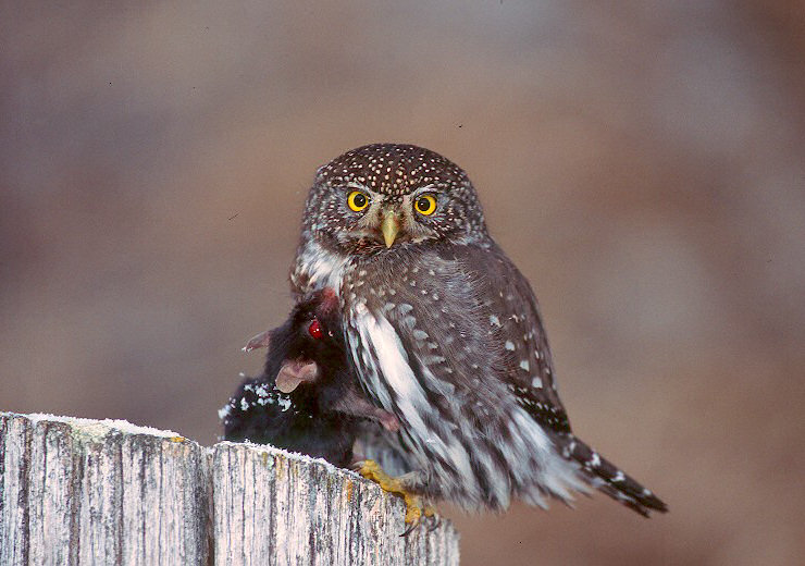 Northern Pygmy Owl with prey