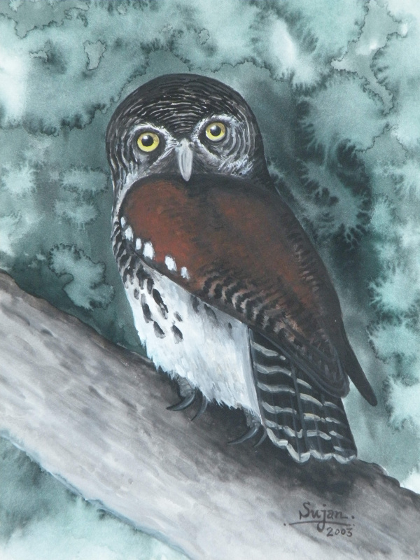 painting of a Chestnut-backed Owlet
