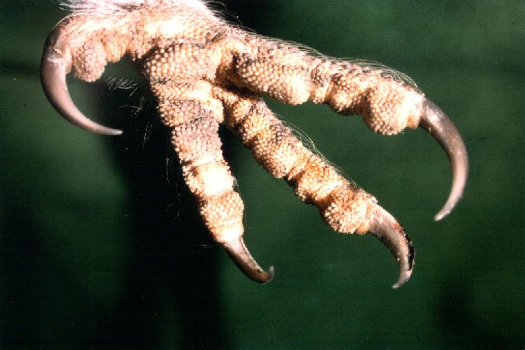 Barn Owl foot