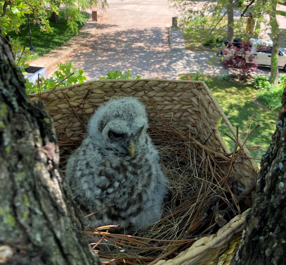 Baby Barred Owl in nest