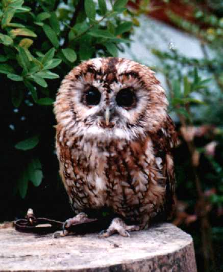 Eric the Tawny Owl