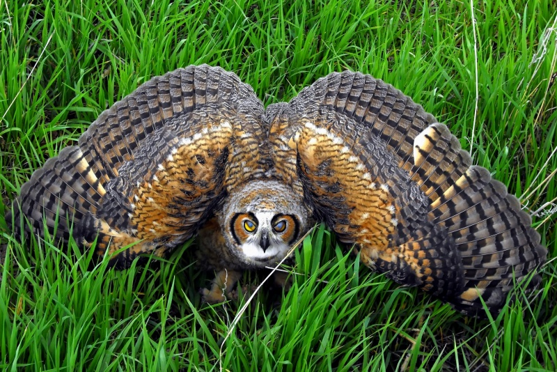 Great Horned Owl threat display