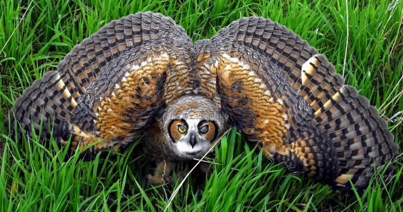 Behaviour of Owls - The Owl Pages