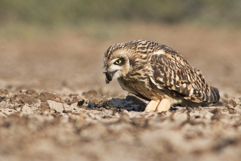 Short-eared Owl regurgitating pellet
