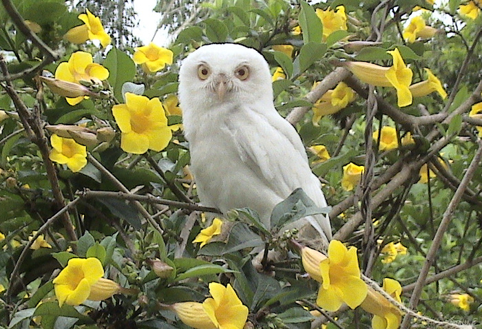 Leucistic Spotted Owlet