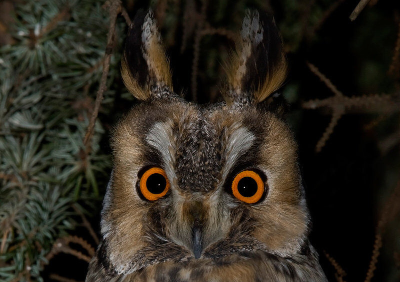 Owl Ears & Hearing - The Owl Pages