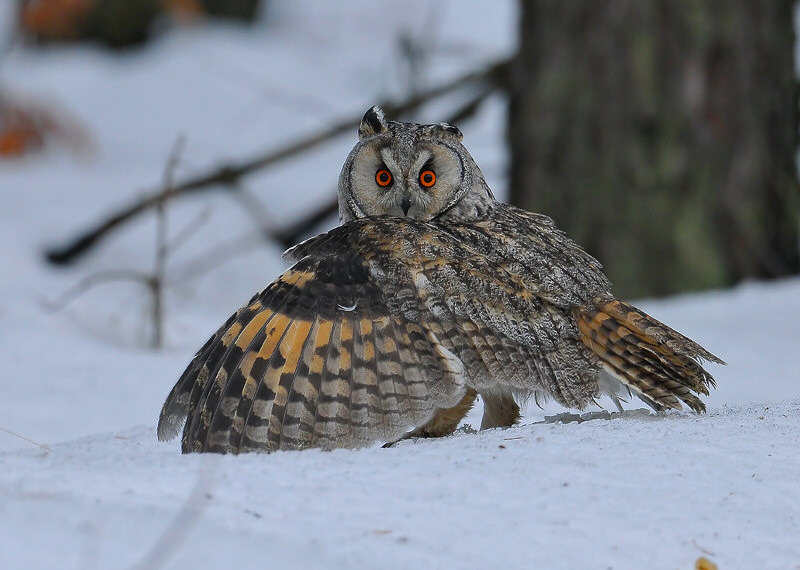 Long-eared Owl mantling prey