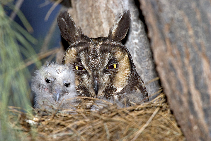 Long-eared Owls at nest
