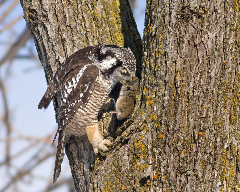 Northern Hawk Owl caching prey
