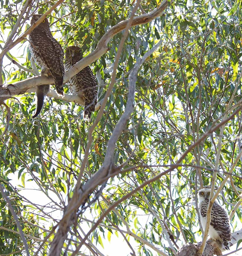 Family of Powerful Owls