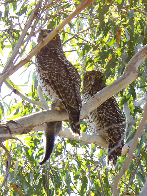Adult one-eyed Powerful Owls