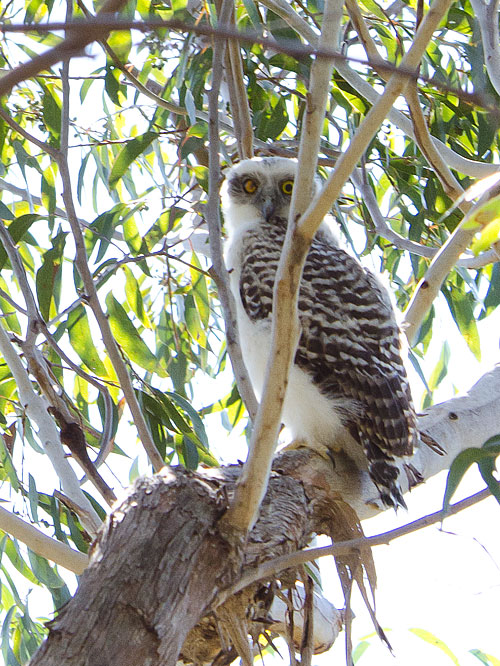 Juvenile one-eyed Powerful Owl