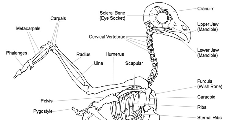 owl skeletal system the owl pages ear wax diagram
