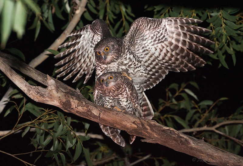 Powerful Owls mating