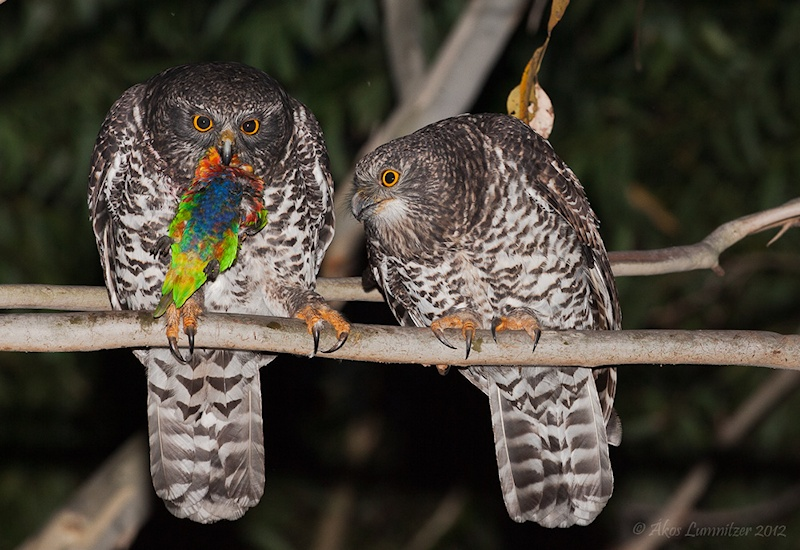 Powerful Owls with prey