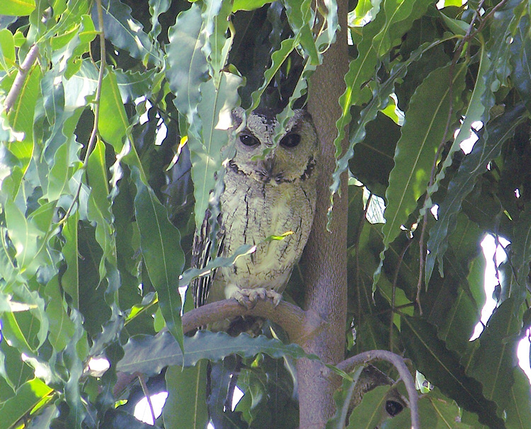 Indian Scops Owl at roost
