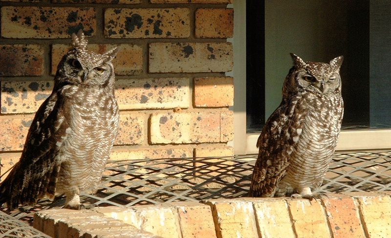 Spotted Eagle Owls