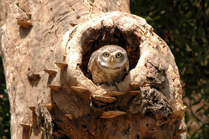 Spotted Owlet at nest hollow