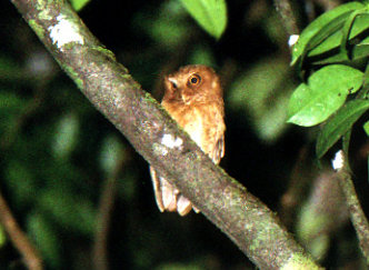 Sri Lanka Scops Owl