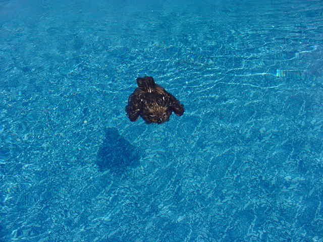 Great Horned Owl in pool