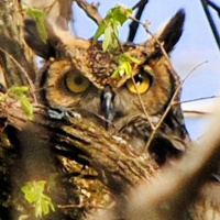 Incognito Great Horned Owl