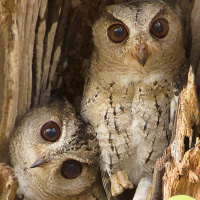 Endearing Indian Owls