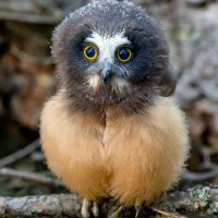 Baby Northern Saw-whet Owl
