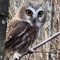 Curious Northern Saw-whet Owl