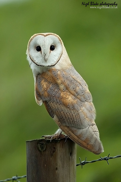 Common Barn Owl Tyto Alba By Nigel Blake The Owl Pages