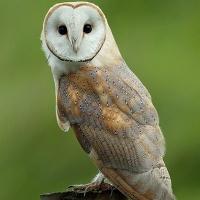 Common Barn Owl (Tyto alba) - Information, Pictures ...