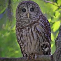 Barred Owl (Strix varia) - Information, Pictures, Sounds