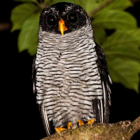 Black-and-White Owl
