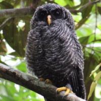 Lestrange Black-banded_owl_lee_mason_thumb