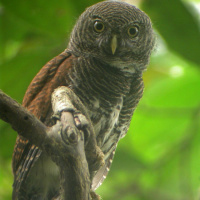 Chestnut-backed Owlet