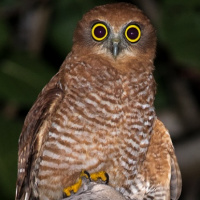 Christmas Island Hawk Owl
