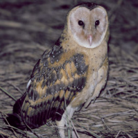 Eastern Grass Owl