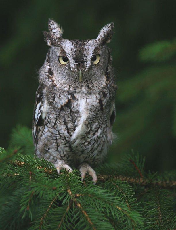 2501 Eastern Screech-Owl (Megascops asio), Blackland Prairie ...