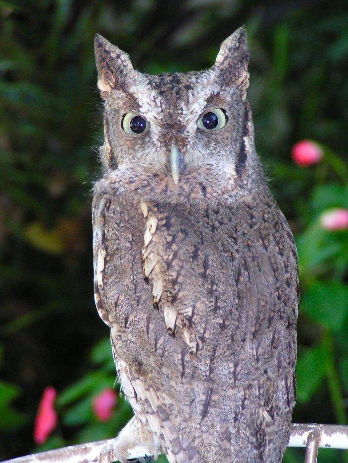 2495 Eastern Screech-Owl (Megascops asio), Blackland Prairie ...