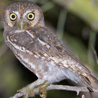 Elf Owl (Micrathene whitneyi) - Information, Pictures, Sounds ...
