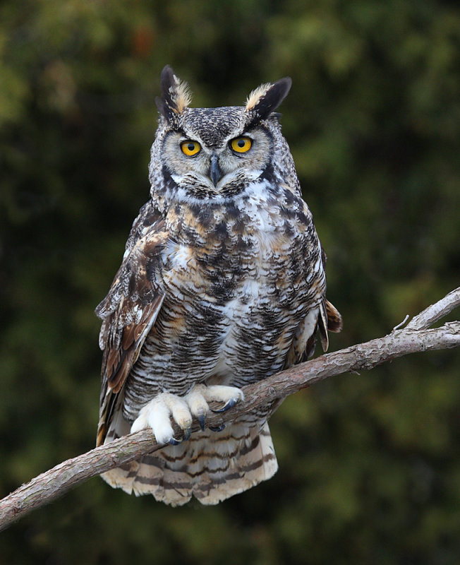 http://www.owlpages.com/owls/species/images/great_horned_owl_ashley_h-3.jpg