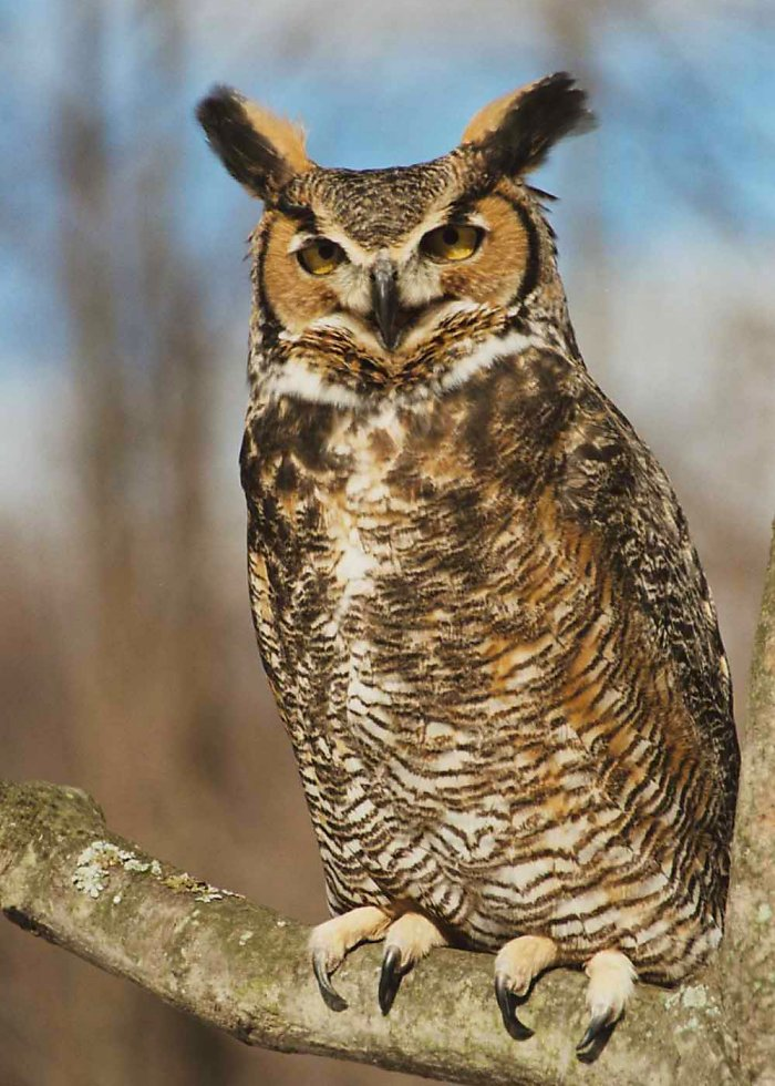Great Horned Owl Bubo virginianus  Information Pictures