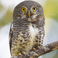 Barred Jungle Owlet