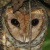 Moluccan Masked Owl